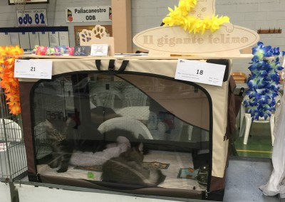 Cat Show Paderno Dugnano (IT) 13 marzo 2016 (WCF)